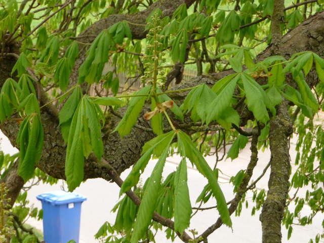 chestnut_0415