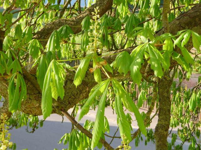 chestnut_0416