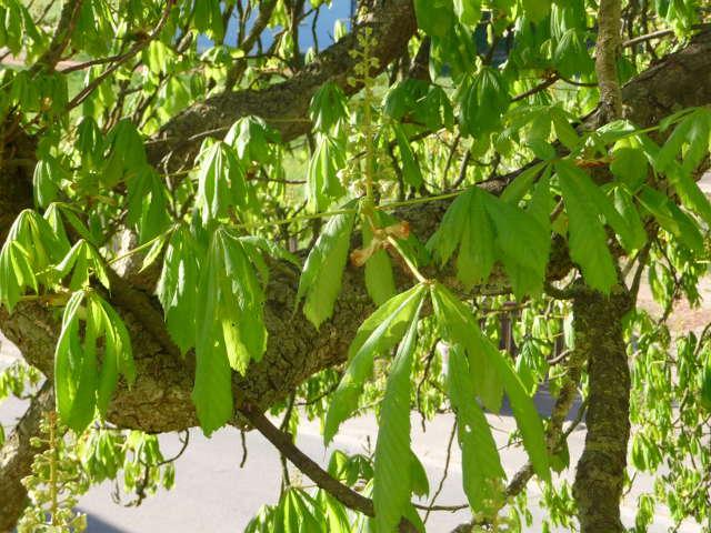 chestnut_0417