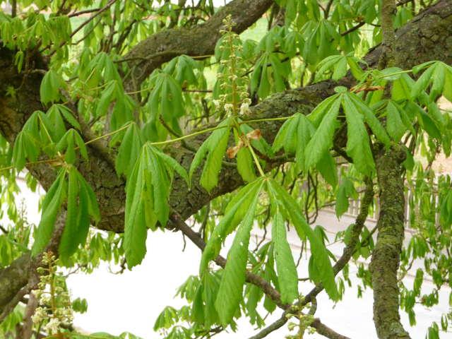 chestnut_0418