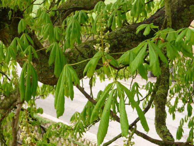 chestnut_0419
