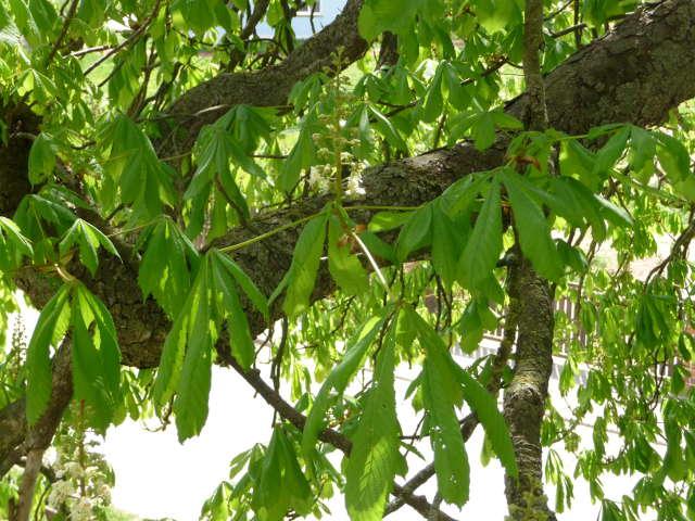chestnut_0420