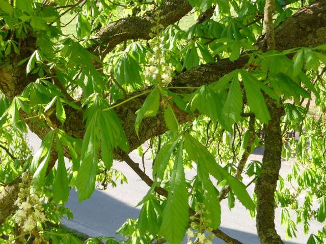 chestnut_0421