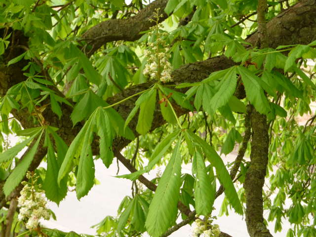 chestnut_0422
