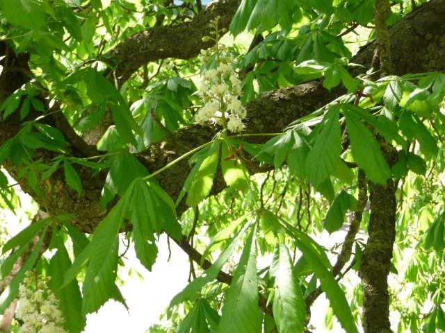 chestnut_0424
