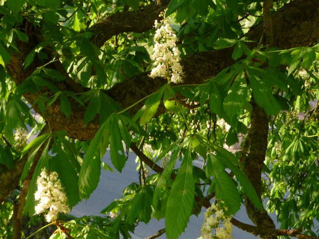 chestnut_0425