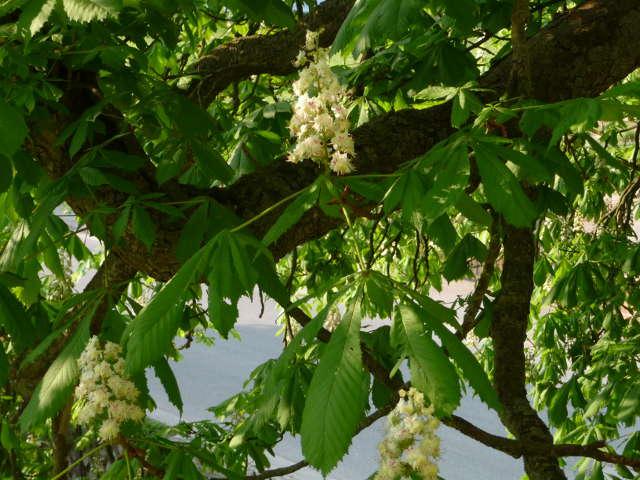 chestnut_0426