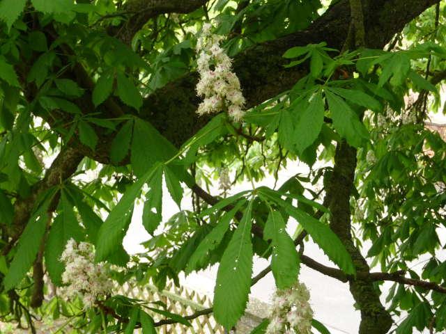 chestnut_0428