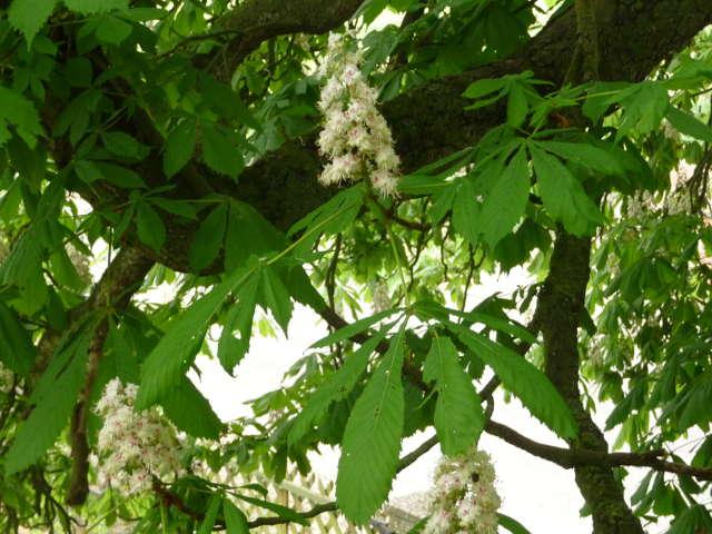 chestnut_0429