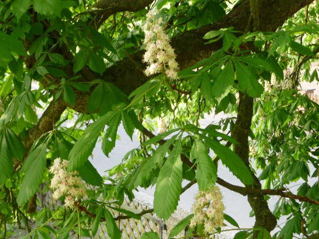 chestnut_0430