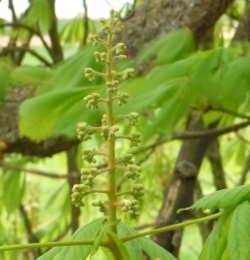 chestnut_2